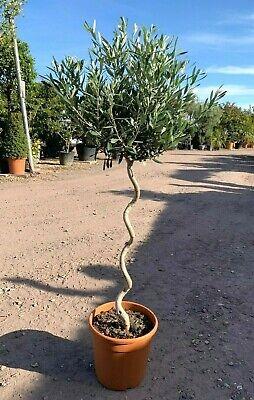 Olive (olea europaea) Single Corkscrew stem