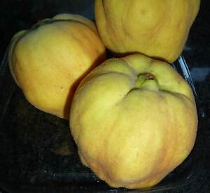 Quinces, organically grown, fully ripened on my tree–$2 per fruit Subiaco Subiaco Area Preview