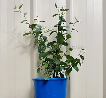 Powderblue Blueberries Plants Fruit Trees Blueberry from $15