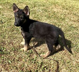 German Shepherd | Adopt Dogs & Puppies Locally in Ontario | Kijiji
