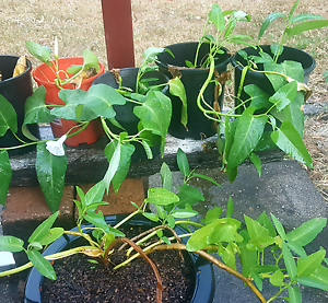 Water spinach (kangkong) plants for sale Marlow Lagoon Palmerston Area Preview
