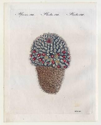 Fackeldistel-Kaktus-Cactus - Bertuch - Kupferstich 1810 Pflanzen