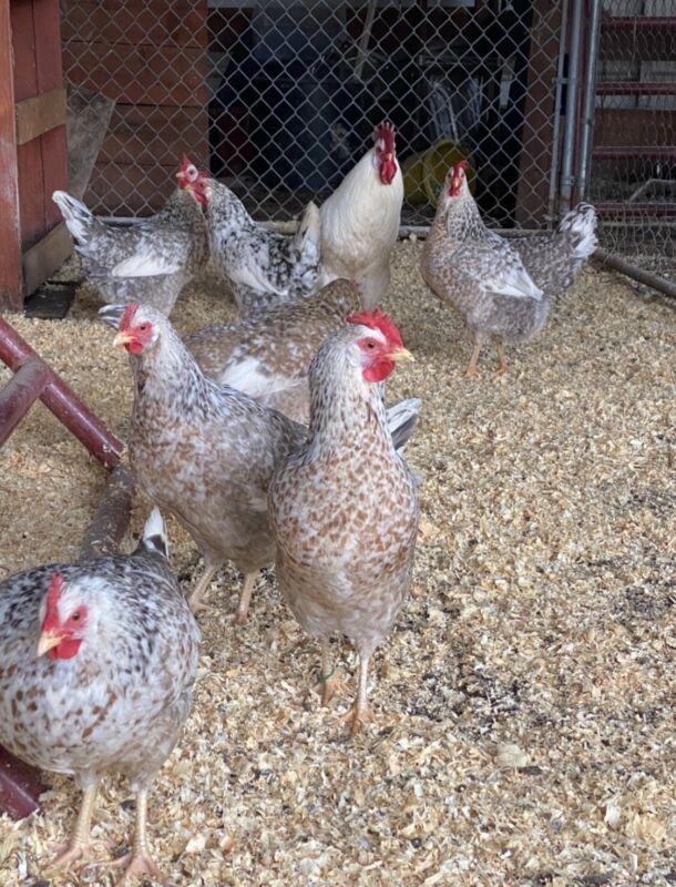 55 Flowery Hen Fertile Eggs