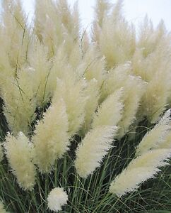 White pampas grass Cortaderia selloana 50 seeds * Showy * Ornamental * E47