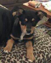 Missing Kelpie / Border Collie cross puppy - Gosnells Gosnells Gosnells Area Preview