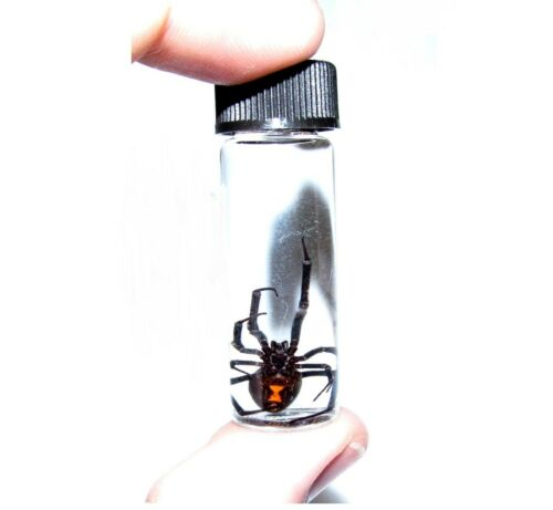 REAL LATRODECTUS MACTANS BLACK WIDOW PRESERVED SPIDER WET SPECIMEN 2in VIAL