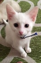CAT ADOPTION FOUNDATION - ADOPTION DAY - KITTENS NOW AVAILABLE Rostrevor Campbelltown Area Preview