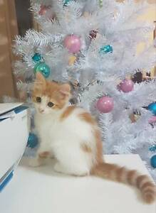 Turkish Van X Rescue Kitten (all vet work included)