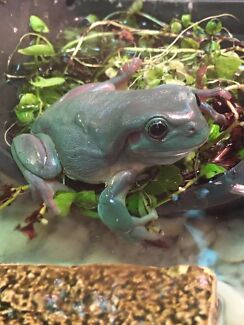 Northern green tree frogs