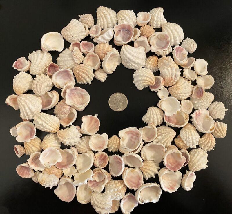 1/2 LB Sanibel Florida Spiny Jewel Box Half Shells BULK CRAFT