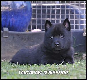 Schipperke Puppies Ipswich Ipswich City Preview