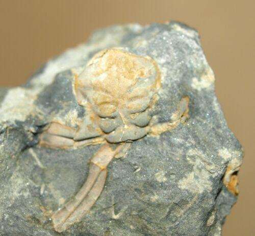 Crozonaspis dujardini- Upper Ordovician Dalmanitid trilobite of Portugal
