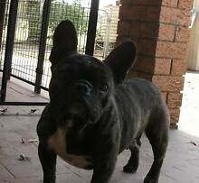 French Bulldog female Mondrook Greater Taree Area Preview