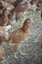 9 week old pullets for sale Strathalbyn Alexandrina Area Preview