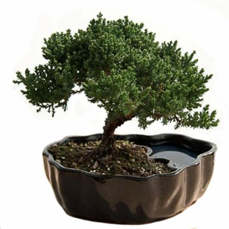 Bonsai Tree True Money Home Garden Pachira Macrocarpa Novel Plant Mini Capricorn For Sale Online Ebay