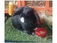 Lop eared black Rabbit fancy bunny, house pet, hutch. young boy buck long haired