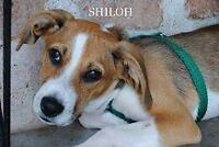 """Young Female Dog - Whippet: """"Shiloh"""""""