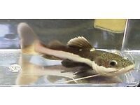 South American Red Tail Catfish for sale - super price!