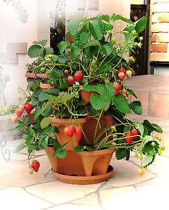 Garden Pots Stacking for Herbs Flowers Terracotta FREE Hanging Chain Food Grade