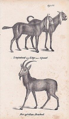 Ziegen Ziegenbock Steinbock LITHOGRAPHIE von 1831 Brüggemann Schinz