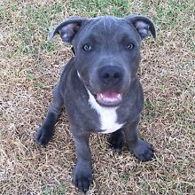 ENGLISH STAFFY 6MONTH OLD CHAMPION BLOOD LINE Strathfield Strathfield Area Preview