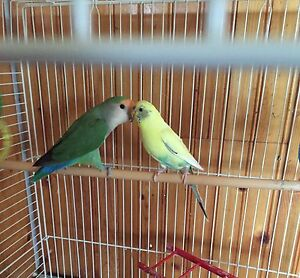 Lovebird and budgie