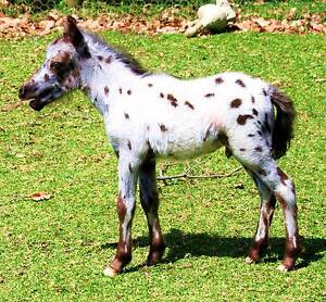 """Pixie Valley SIR SPOT A LOT"" TINY SPOTTED MINIATURE HORSE Margaret River Margaret River Area Preview"