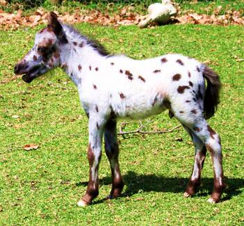 """""""Pixie Valley SIR SPOT A LOT"""" TINY SPOTTED MINIATURE HORSE"""