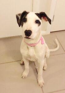 HARLEI ~ Bull Arab Pup ~ Playful, loving girl! Campbelltown Campbelltown Area Preview
