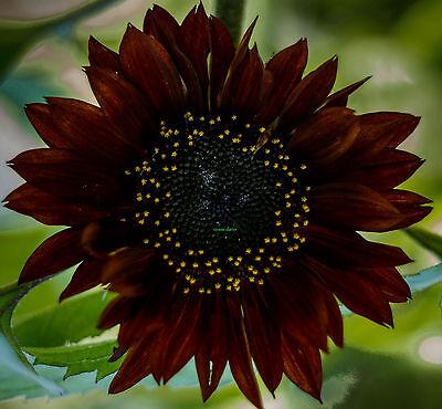 Sonnenblume 20 Samen (SONNENBLUME -