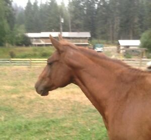 SOLID SORREL AQHA 2 YEAR OLD FILLY - MIAZ LAST