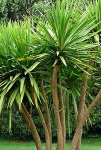 Cordyline Australis Evergreen Hardy Cabbage Torbay Palm in 9cm Pot