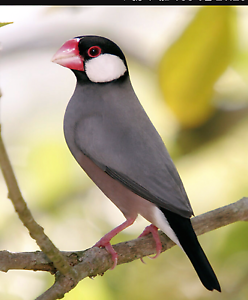 Java finch George Town George Town Area Preview