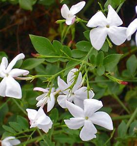 Poet's Jasmine Jasminum grandiflorum Climbing Vine Plant flower Kings Park Brimbank Area Preview