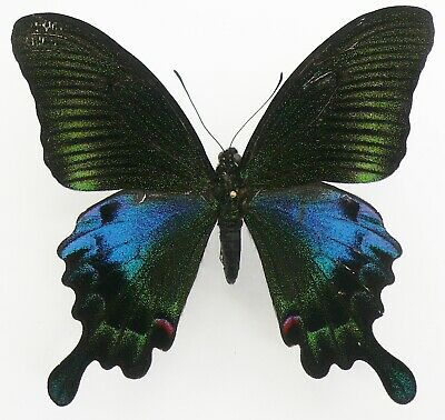 PAPILIO HOPPO MALE FROM TAIWAN
