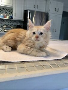 Huge TICA registered Maine Coon kittens available!