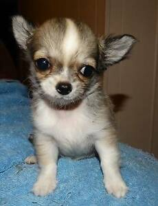 Chihuahua Longcoat Male Puppy - Pedigree - Registered Breeder Mackay Mackay City Preview