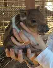 MINATURE PIGLETS 60CM IN HIGHT WHEN FULLY GROWN Londonderry Penrith Area Preview