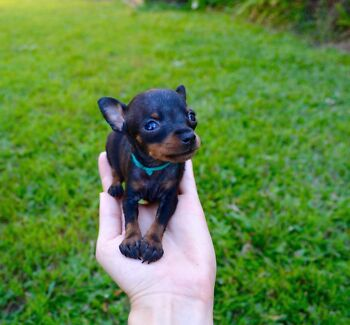 Small tiny puppies Prague Ratter Prazsky Krysarik Brisbane City Brisbane North West Preview