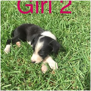Border Collie  Pups Tansey Gympie Area Preview