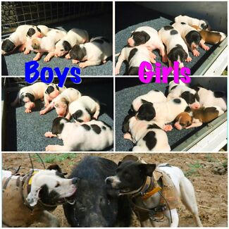 Bull Arab Pups Cullen Bullen Lithgow Area Preview