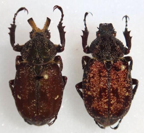 TOP RARITY Scarabaeidae Inca besckii Pair Brazil #E1 Beetle Insect Coleoptera
