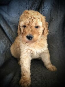 Gorgeous F1b Goldendoodle puppies