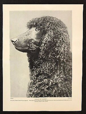 "1934 Dog Print / Bookplate - IRISH WATER SPANIEL, ""Prince of Liliwy"", Head Study"
