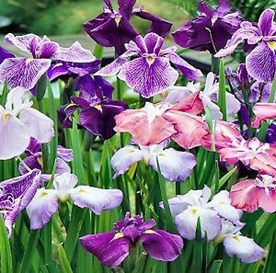 JAPANESE IRIS ENSATA  100+ seeds  GREAT EBAY VALUE!!