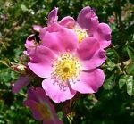 an eglantine rose