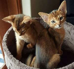 ABYSSINIAN MALE AND FEMALE TAWNY KITTENS looking for loving homes Wanneroo Wanneroo Area Preview