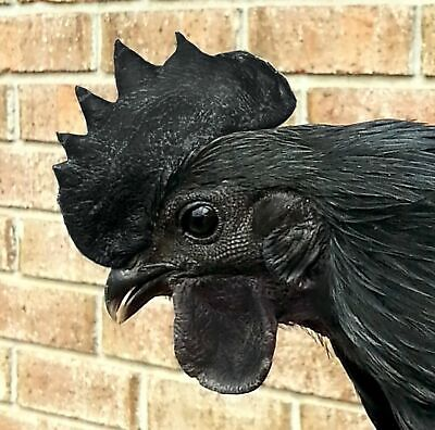 Rare 6 Purebred Ayam Cemani Fertile Hatching Eggs Greenfire Farms Lines