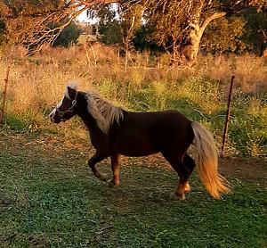 Silverbay small horse stallion Dubbo Dubbo Area Preview