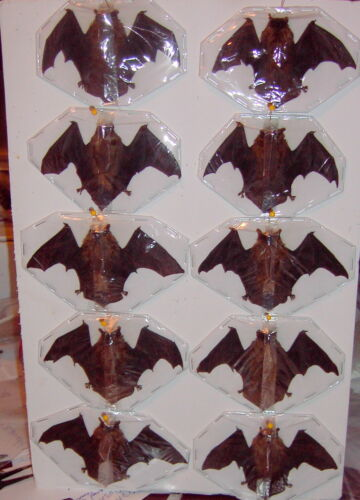 Bat Taxidermy Extra Small Batman Style Half Folded 12 Lot Flying Position